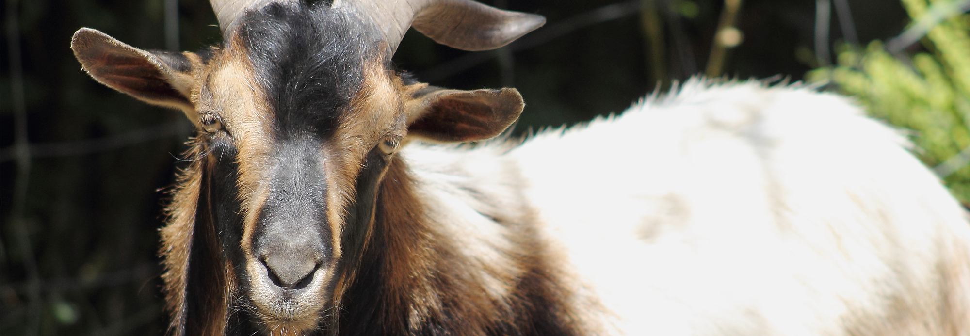 Goat DRL Johne's Control NZ